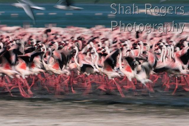 ABSTRACTS;ARTY_SHOTS;BIRDS;EAST_AFRICA;FLAMINGOS;RUNNING;VERTEBRATES;soft_shots