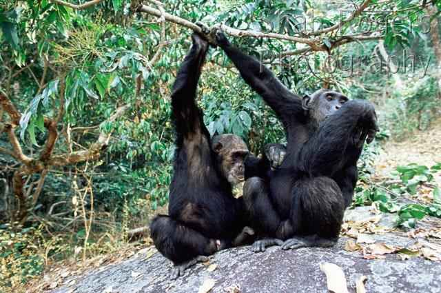 Mahale Chimpanzee - Burrard-Lucas Photography
