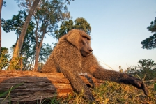 AFRICAN PRIMATES - BABOONS