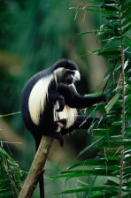 ANGOLAN BLACK-AND-WHITE COLOBUS