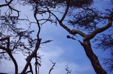 AFRICAN PRIMATES - COLOBUS