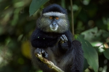 AFRICAN PRIMATES - GUENONS