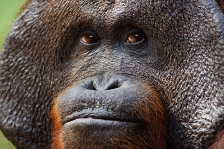 ASIAN PRIMATES - ORANGUTAN