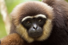 ASIAN PRIMATES - GIBBONS