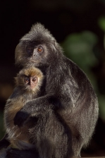 SILVERED OR SILVER-LEAF LANGUR