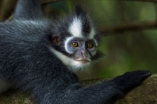THOMAS LEAF MONKEY or THOMAS' LANGUR