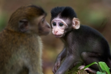 LONG-TAILED OR CRAB-EATING MACAQUE