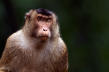SOUTHERN OR SUNDA PIG-TAILED MACAQUE