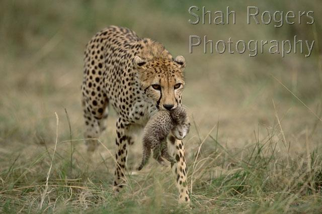 Female cheetah carrying ten day old cub in mouth acinonyx jubatus