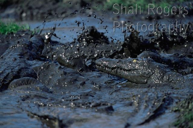 River String Lizards