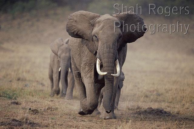 african elephants walking in a line led by female