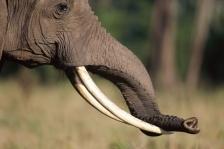 AFRICA;ELEPHANTS;ENDANGERED;HORIZONTAL;HUMOROUS;MAMMALS;PORTRAITS;PROBOSCIDS;PRO