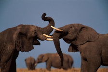 ACTION;AFRICA;DOMINANCE;ELEPHANTS;ENDANGERED;GRASSLAND;HORIZONTAL;MALES;MAMMALS;