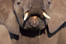 AFRICA;ELEPHANTS;ENDANGERED;HEADS;HORIZONTAL;INTERESTING;MAMMALS;MOUTHS;TRUNKS;T