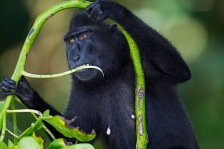 BLACK CRESTED MACAQUE