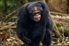 CHIMPANZEES OF BOSSOU
