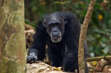CHIMPANZEE WESTERN SUB-SPECIES