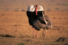 AFRICA;BIRDS;COMMUNICATION;COURTSHIP;DISPLAY;FLIGHTLESS;FLIGHTLESS_BIRDS;GRASSLA