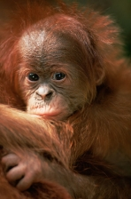 ASIA;BABIES;CUTE;ENDANGERED;FACES;GREAT_APES;HAIR;INDONESIA;JUVENILE;MAMMALS;ORA