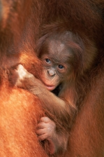 ASIA;BABIES;CUTE;ENDANGERED;Frightened;GREAT_APES;HAIR;INDONESIA;MAMMALS;ORANGE;