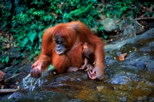 ASIA;BABIES;DRINKING;ENDANGERED;FEMALES;GREAT_APES;HORIZONTAL;HUMOROUS;INDONESIA
