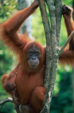 ASIA;BABIES;BEHAVIOUR;ENDANGERED;FEMALES;GREAT_APES;INDONESIA;MAMMALS;NP;ORANGUT