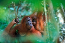 ASIA;ENDANGERED;FAMILIES;FEMALES;GREAT_APES;HORIZONTAL;INDONESIA;MAMMALS;NP;ORAN