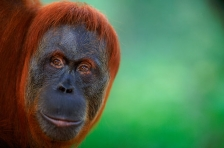 ASIA;ENDANGERED;FACES;FEMALES;GREAT_APES;HORIZONTAL;INDONESIA;MAMMALS;NP;ORANGUT