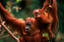 ASIA;BABY;ENDANGERED;FAMILIES;FEMALES;GREAT_APES;HORIZONTAL;INDONESIA;MAMMALS;NP