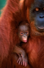 AFFECTIONATE;ASIA;BABY;ENDANGERED;FAMILIES;GREAT_APES;INDONESIA;MAMMALS;NP;ORANG