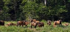 FOREST BUFFALO