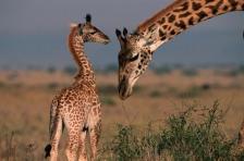 AFRICA;ARTIODACTYLA;BABIES;CUTE;FAMILIES;GIRAFFIDS;GRASSLAND;HORIZONTAL;MAMMALS;
