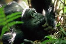 MOUNTAIN GORILLAS - RWANDA & UGANDA