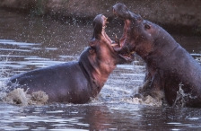 ACTION;AGGRESSION;ARTIODACTYLA;HIPPOPOTAMUSES;MALES;MAMMALS;MOUTHS;MOVEMENT;RIVE