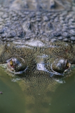 CROCODILE & GHARIAL