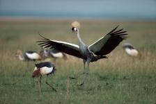 ACTION;BIRDS;COURTSHIP;CRANES;DISPLAY;EAST_AFRICA;MALE_FEMALE_PAIR;SAVANNA;VERTE