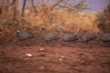 GUINEAFOWL, FRANCOLIN & SPURFOWL