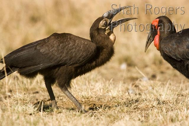 African Grassland Birds African Savanna Birds ...