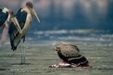 AGGRESSION;BEHAVIOUR;BIRDS;BIRDS_OF_PREY;EAGLES;EAST_AFRICA;THREE;VERTEBRATES