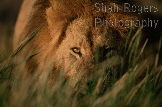Male lion stalking prey - photo#20