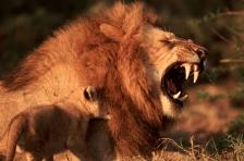 AFRICA;BABIES;BIG_CATS;CARNIVORES;HORIZONTAL;LIONS;MALES;MAMMALS;TEETH;VERTEBRAT