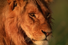 AFRICA;BIG;BIG_CATS;CARNIVORES;EYES;FACES;HEADS;HORIZONTAL;LIONS;MAMMALS;OUTSTAN