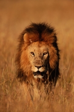 AFRICA;BIG;BIG_CATS;CARNIVORES;FACES;GRASSLAND;HAIR;HEADS;LIONS;MAMMALS;PLANTS;S