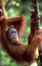 ASIA;ENDANGERED;GREAT_APES;INDONESIA;MALES;MAMMALS;NP;ORANGUTAN;PORTRAITS;PRIMAT