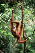 ENDANGERED;GREAT_APES;INDONESIA;MALES;MAMMALS;NP;ORANGUTAN;PORTRAITS;PRIMATES;So