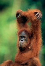 ASIA;ENDANGERED;GREAT_APES;INDONESIA;INTERESTING;MAMMALS;NP;ORANGUTAN;PORTRAITS;