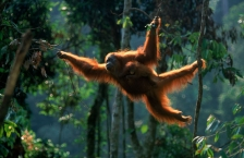 ACTION;ASIA;BABY;BEHAVIOUR;BRACHIATION;ENDANGERED;FAMILIES;GREAT_APES;HABITAT;IN