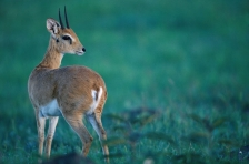 OTHER AFRICAN ANTELOPES