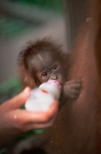BABIES;CONSERVATION;CUTE;ENDANGERED;FEEDING;GREAT_APES;MAMMALS;ORANGUTAN;PEOPLE;