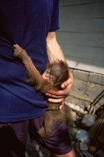 ASIA;BABIES;ENDANGERED;GREAT_APES;INDONESIA;MAMMALS;MOTHER;NP;ORANGUTAN;PEOPLE;P
